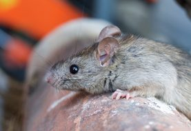 Rats! April Showers Bring…Leptospirosis