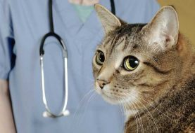 Cat Lymphoma and the Digestive System