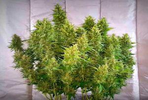 autoflowering-cannabis